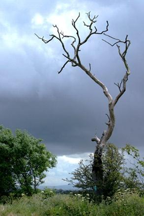 Silver Tree by pjc