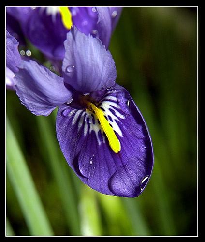 Blue Iris by deeken