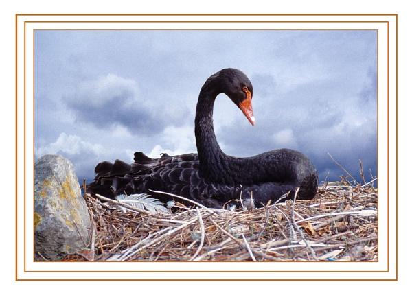 Black Swan on Nest by Hoffy