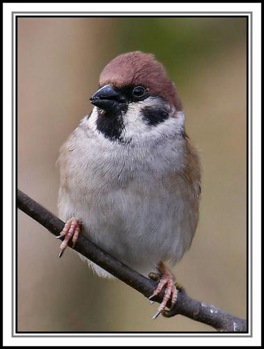 Tree Sparrow by StevenPrice