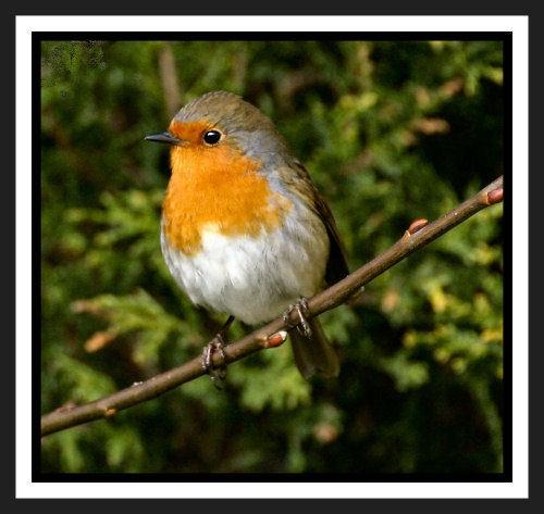 Mr Robin by karenpics