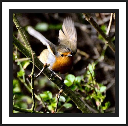 Sorry a Robin by karenpics