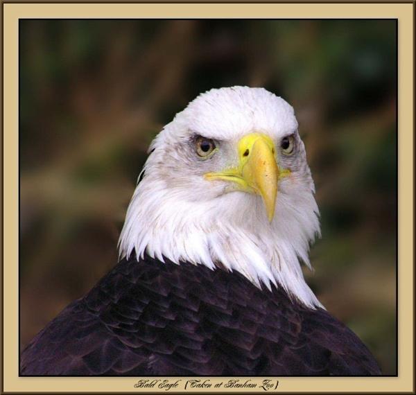 Bald Eagle by Jimbob