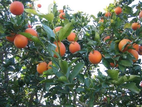 Oranges by saramalik