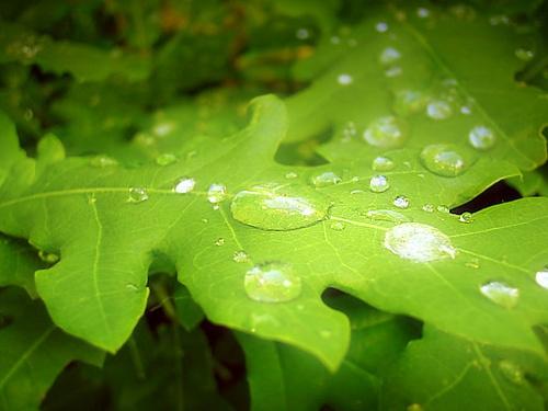 Leaf Droplets by sbeck