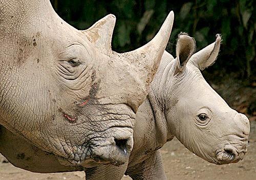 Rhinos by Thunderace
