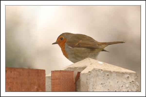 Robin by gillymot