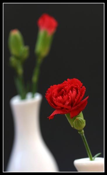 Carnation by gillymot