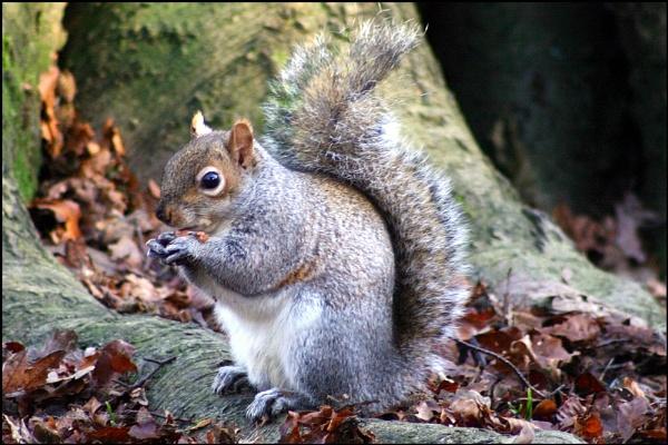 Grey squirrel by christabella