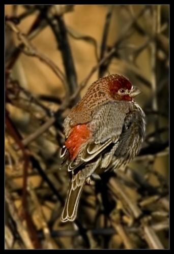 Purple Finch by glazzaro