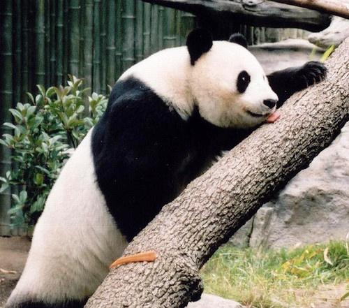 Panda 2 by kaybeeminimetwo