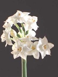 Daffodils repost