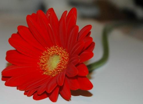 red gerbera by emmat