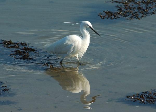 Little Egret by davefolky
