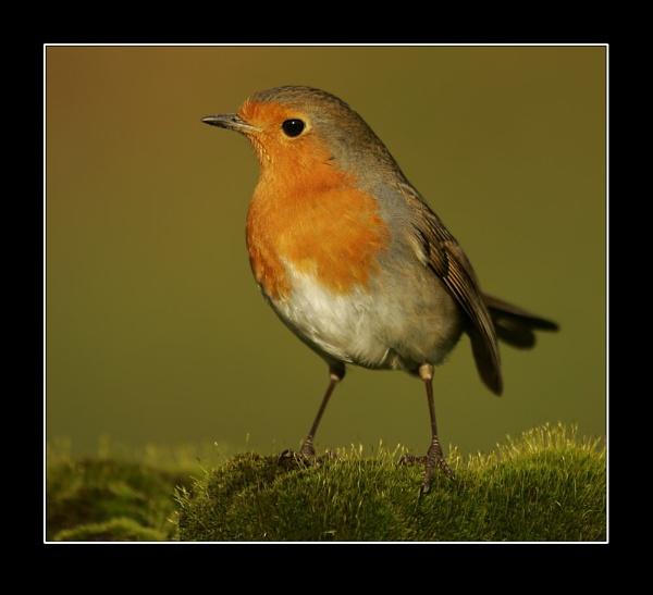 Robin by johnc1711