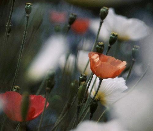 Poppy Field by fairlytallpaul