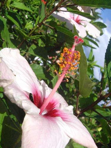 ?Hibiscus? by tiben