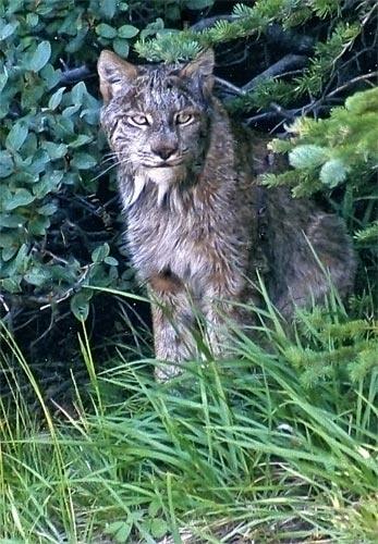 Bobcat by da_nige