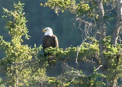 Bald Eagle by da_nige