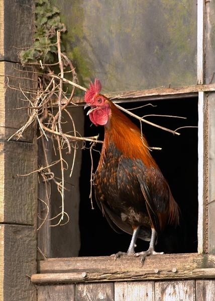 Bantam cock by christabella