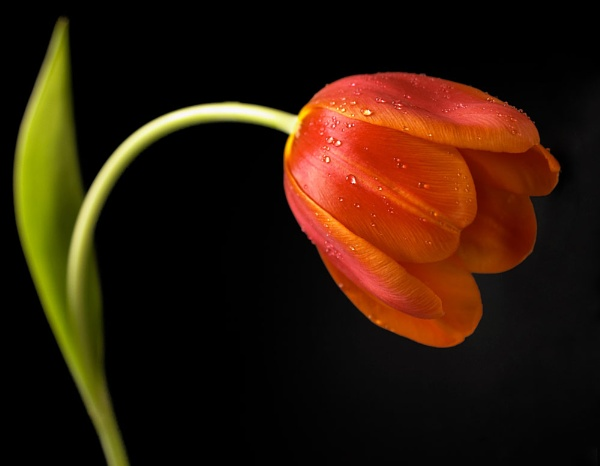 fading tulip by christabella