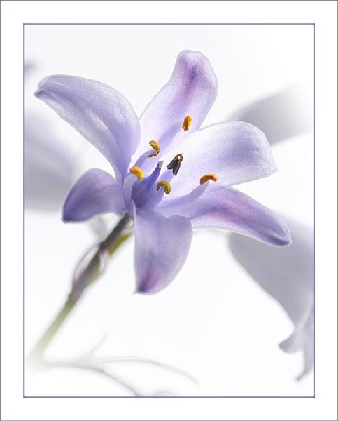 Hyacinthoides hispanica by johnjohn01