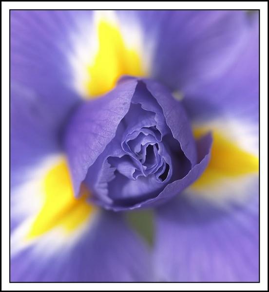 Iris by Stevo