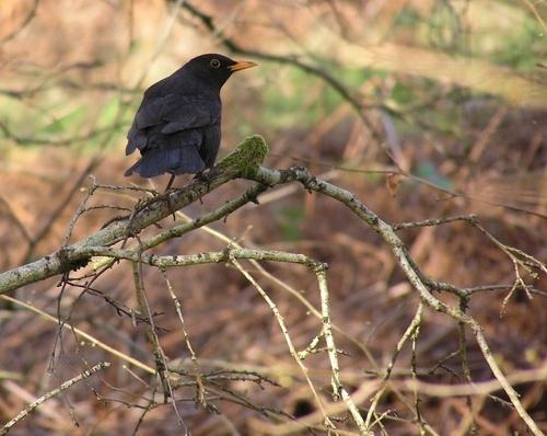 Blackbird by cassielang