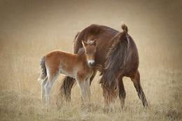 Exmmor Ponies