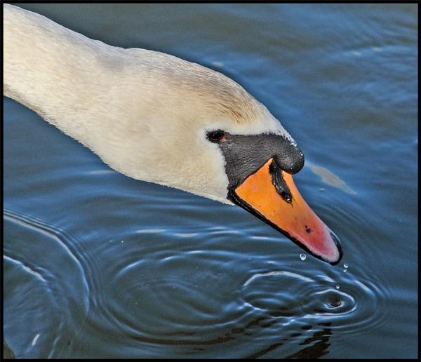 Swan Drinking by mttmwilson