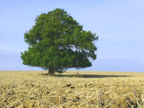solitary tree by alfsky