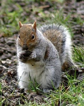 Squirrel by Baz Hilder