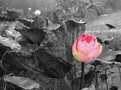 Lotus Grove by amigoro