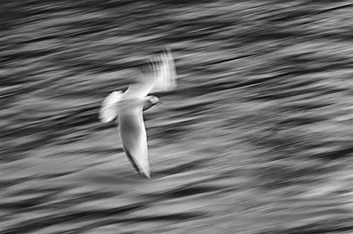 Gull in Flight by leead