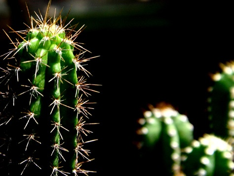 glittering cactus by swami1969