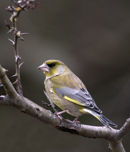 Greenfinch by nil1106