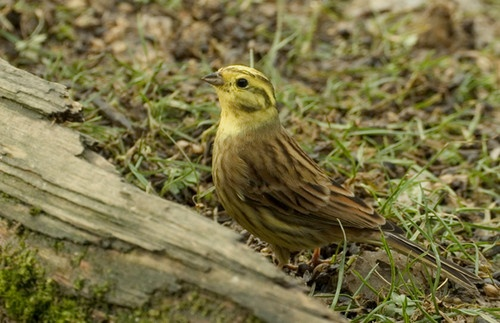 Yellowhammer by nil1106