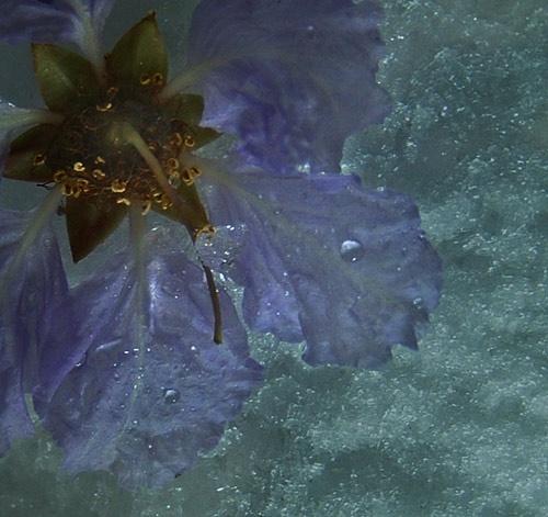 Frosty the Flower by amigoro