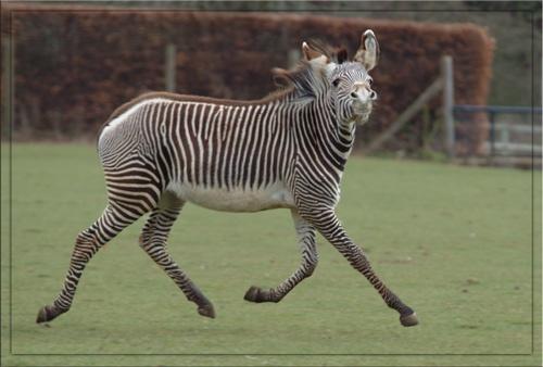 \'Stripes\' in training by poetslane