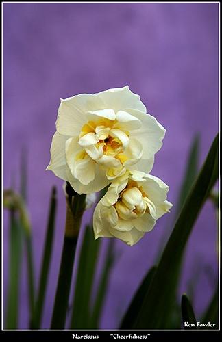 Narcissus by deeken