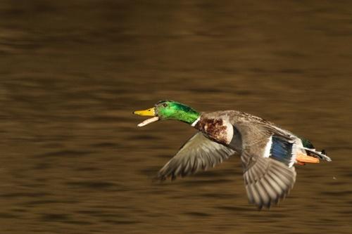Duck in Flight by a15trv