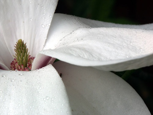 Magnolia by AaronCollettPhotography