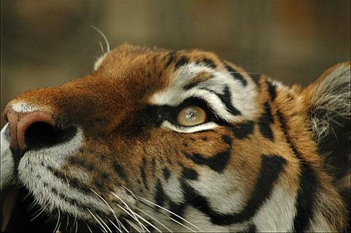 Amur Tiger by ajm