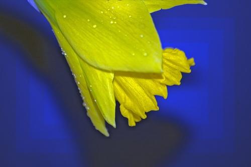 Daffie in Blue by deavilin