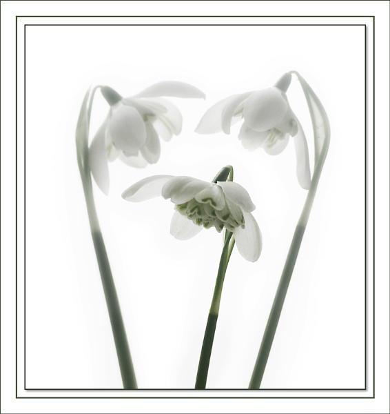 Galanthus nivalis flore pleno by johnjohn01