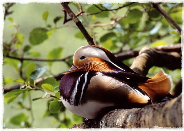 Mandarin Roosting by Hoffy