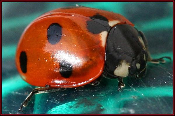 Ladybird by lloydy