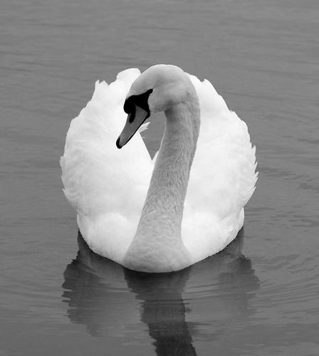 Swan Lake II by Stevie_G