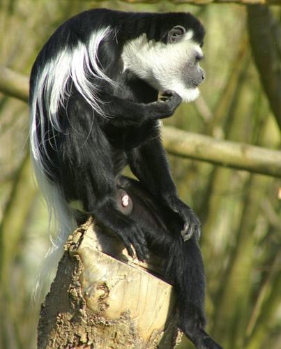 monkey thoughtful by gaz revs
