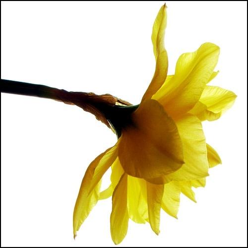 Daffodil by dfawbert